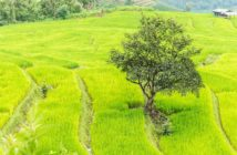 xondhan-rice-field-green